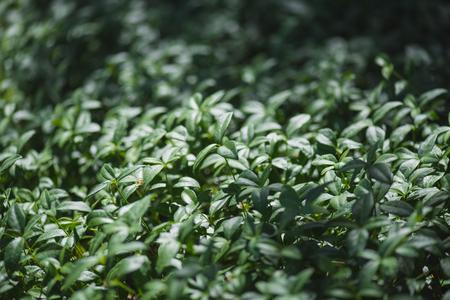 Green leaves of vinca plant on summer meadow