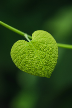 Heart shaped leaf on blurred green background Фото со стока