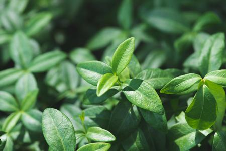 Vinca plant green leaves in sunlight