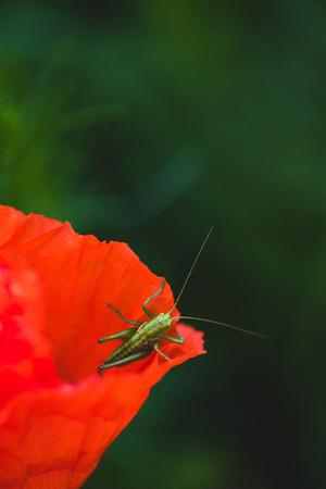 Green grasshopper sitting on red poppy flower Stockfoto