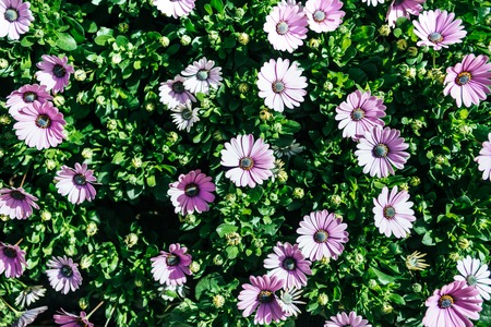 full frame of beautiful lilac African daisy flowers with green leaves background