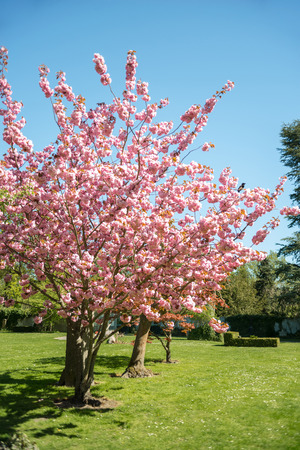 cherry blossom trees on green lawn in park of Copenhagen, Denmark Stock Photo