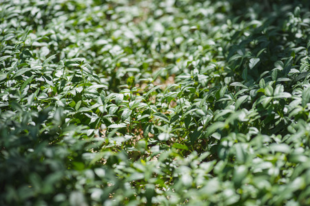 Vinca plant spreading on ground in forest