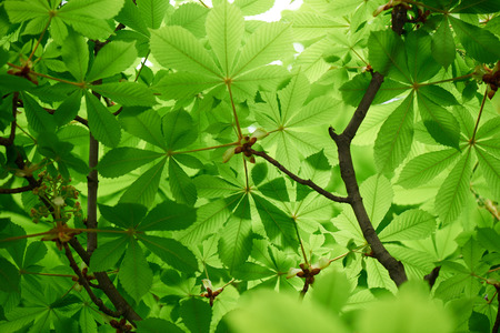 selective focus of beautiful chestnut tree with bright green leaves