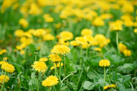 selective focus of beautiful bright yellow blooming dandelions