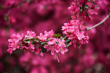 close-up view of beautiful bright pink almond flowers on branch Banco de Imagens