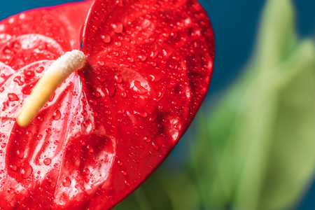 close up shot of red anthurium and leaves on blurred background Stock Photo