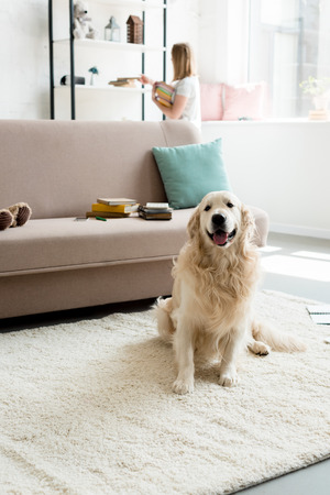 beautiful golden retriever sitting on floor while owner taking books from shelf blurred on background Banque d'images - 106067268