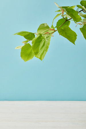 close-up shot of blooming green linden branch isolated on blue Stock Photo
