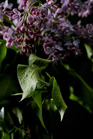 close-up shot of beautiful lilac flowers and leaves covered with water drops isolated on black