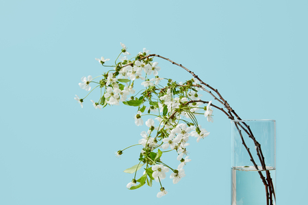 close-up shot of branches of white cherry flowers in vase isolated on blue