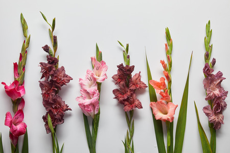 beautiful pink and violet gladioli flowers on grey background Stock Photo