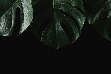 close-up view of beautiful green wet monstera leaves isolated on black Stockfoto