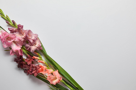 top view of beautiful pink and violet gladioli flowers on grey background