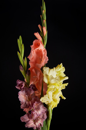 close-up view of beautiful pink, yellow and violet gladioli flowers isolated on black background