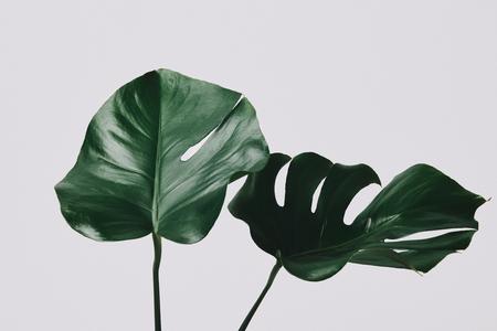 Primer plano de hojas de monstera aislado en blanco Foto de archivo