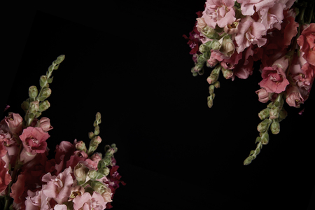 beautiful pink decorative gladioli flowers isolated on black