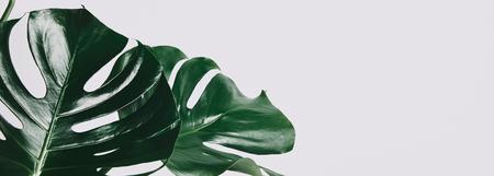 Primer plano de hojas verdes de monstera aislado en blanco