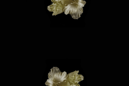 beautiful fresh yellow gladioli flowers isolated on black background