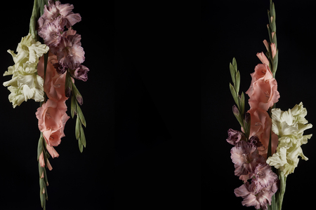 beautiful tender pink, yellow and purple gladioli flowers isolated on black background