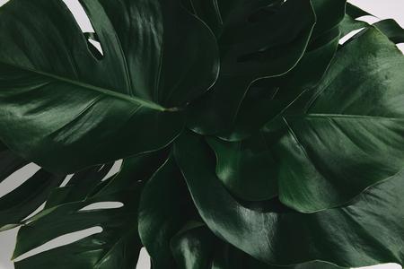 full frame shot of bunch of monstera leaves isolated on white