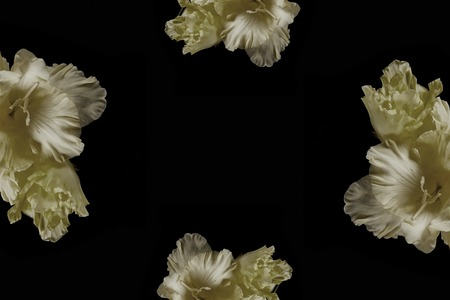 beautiful tender yellow gladioli flowers isolated on black background Stock Photo