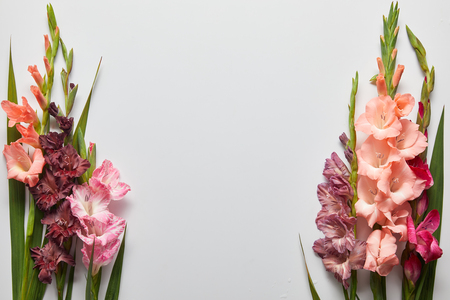 close-up view of beautiful pink and violet gladioli flowers on grey background Stock Photo