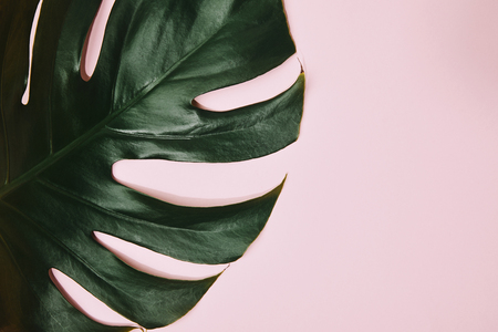 cropped shot of green monstera leaf on pink tabletop