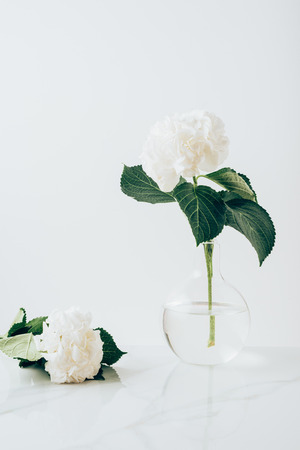 white blooming flowers of hydrangea in vase and on white surface 스톡 콘텐츠