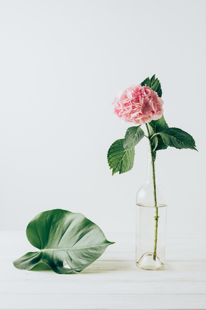 pink hydrangea flower in vase and green monstera leaf near, on white