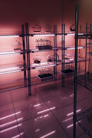 selective focus of potted plants on shelves in modern agro laboratory with ultra violet light