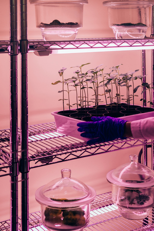 cropped image of scientist putting potted plants under ultra violet light in modern laboratory Фото со стока