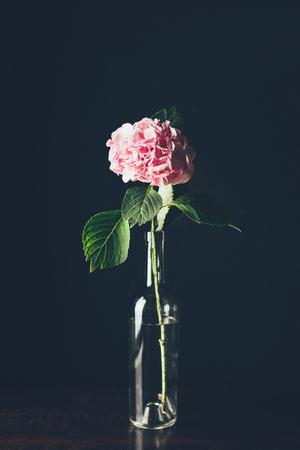 pink hortensia blossom in glass bottle, on black Zdjęcie Seryjne