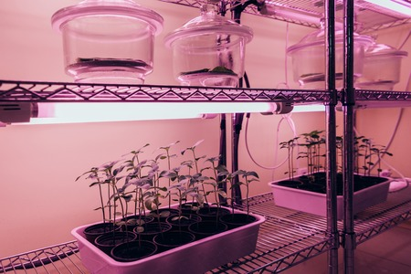 selective focus of glass containers with potted plants on shelves in agro laboratory with ultra violet light
