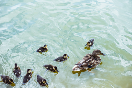 high angle view of mother duck with her ducklings swimming in blue pond Stock Photo