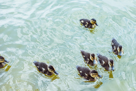 high angle view of adorable ducklings swimming in blue pond