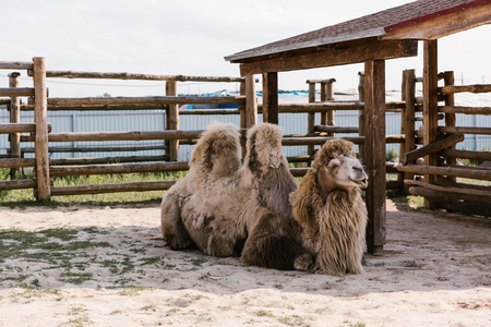 front view of two humped camel sitting on ground in corral at zoo Standard-Bild - 106598468