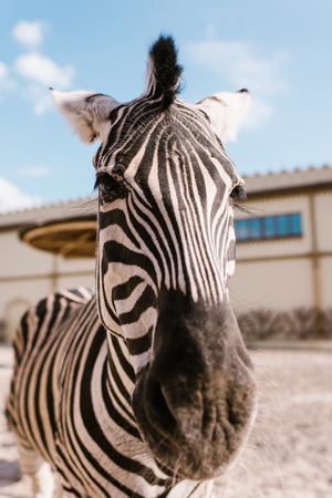 close up view of zebra muzzle on blurred background at zoo