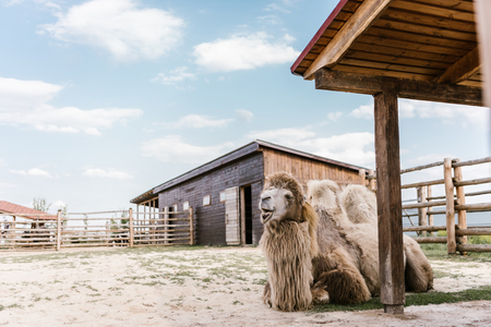 close up view of two humped camel sitting on ground in corral at zoo Standard-Bild - 106598475