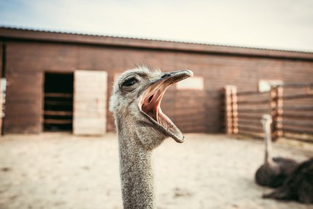 closeup shot of yawning ostrich in corral at zoo Imagens