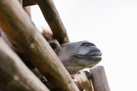 low angle view of camel muzzle near wooden fence at zoo Standard-Bild - 106598321