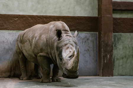front view of endangered white rhino standing at zoo Stock fotó