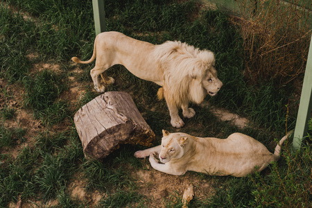 high angle view of laying lioness and lion standing near on grass at zoo