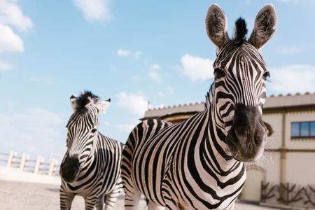 closeup shot of two zebras grazing in corral at zoo Banco de Imagens