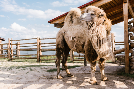 close up view of two humped camel standing in corral at zoo Standard-Bild - 106598550