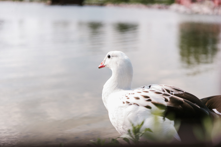close up view of andean goose sitting near water surface at zoo Stock fotó