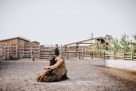 front view of bison laying on ground in corral at zoo Stockfoto