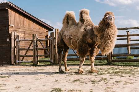 close up shot of two humped camel standing in corral at zoo Standard-Bild - 106598632