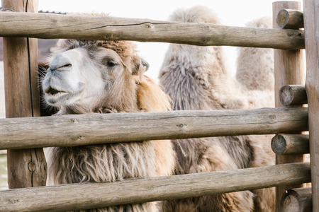 close up shot of two humped camel standing near wooden fence in corral at zoo Standard-Bild - 106598495