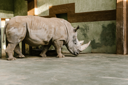 side view of endangered white rhino at zoo Stock fotó